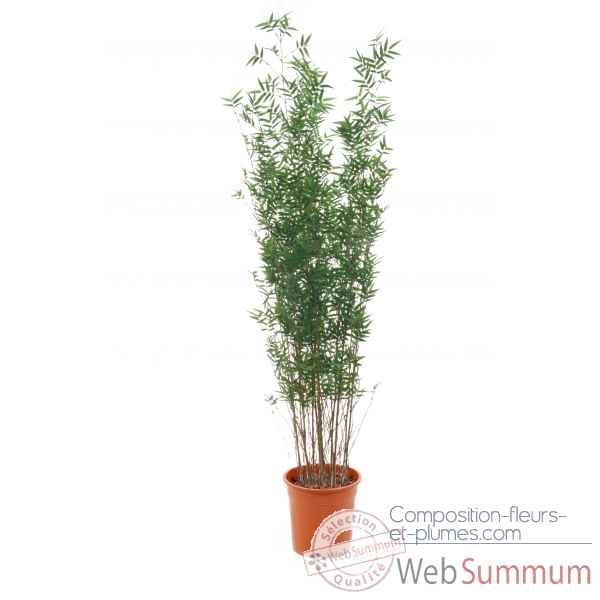 Bamboe oriental 210 cm in pot k Louis Maes -00524.000K