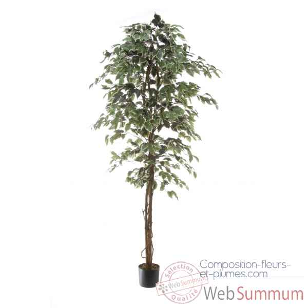 Ficus benjamina bi-color Louis Maes -40103.180
