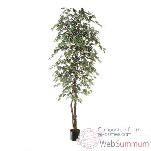 Ficus benjamina bi-color Louis Maes -40103.210