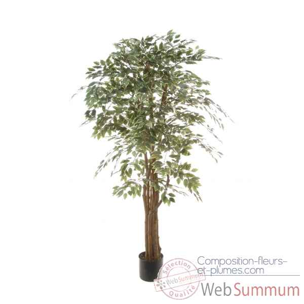 Ficus benjamina bi-color Louis Maes -40109.150