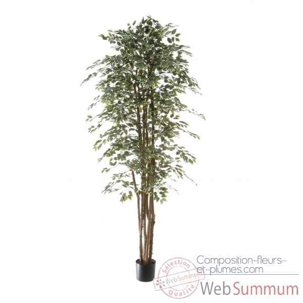 Ficus benjamina bi-color Louis Maes -40109.210
